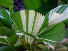 Not sure what this variegated palm is (Licuala?) but I need it <3