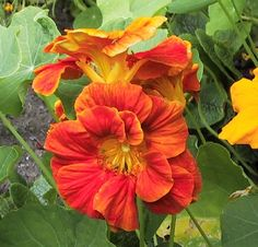 Nasturtiums come in a range of intense colors: burgundy red, bright red, orange, golden yellow & butter yellow