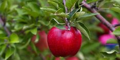 Take a Bite Out of Fall: Top Apple-Picking Spots in America - TraveLeis Ripe Fruit, Learning The Alphabet, Preschool Learning, Early Learning, Harvest Season, Neem Oil, Tree Photography, Fresh Apples, High Resolution Picture