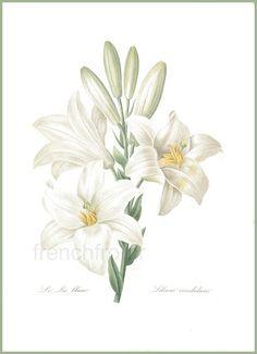 antique french botanical print fleur de lis lily by FrenchFrouFrou
