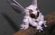 Who's the fanciest moth of them all? The Venezuelan poodle moth!