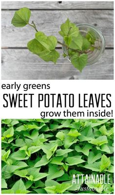 How to grow sweet potato leaves for winter greens. Indoor gardening.