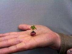 """#1 of our """"Top 10 - Smallest Bonsai trees"""" This is the smallest 'Bonsai' tree that I know of, with a pending Guiness Record listing. The mini-bonsai is an Acer Momiji. Photo by: Bonsaiguesthouse Osaka.  See: www.bonsaiempire.com/blog/top10-smallest-bonsai #bonsai"""