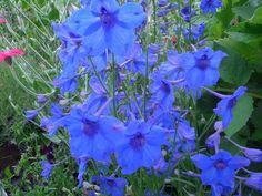 Delphinium | Delphinium « Blue Butterfly »