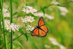 Monarch at Pickerington Ponds