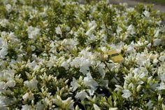 Japanische Azalee PLEASANT WHITE