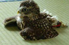 畳で寛ぐフクロウ The owl which relaxes on a tatami. pic.twitter.com/lIaiImZDuq