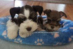 Crown Schnauzers, Teacup, Toy and Miniature Schnauzers, Reno, Nevada