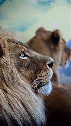 visualechoess: Pondering Lion - (via) Lion And Lioness, Lion Of Judah, Nature Animals, Animals And Pets, Cute Animals, I Love Cats, Big Cats, Beautiful Cats, Animals Beautiful