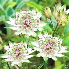 Astrantia major Alba - 1 plant buy online order now Beautiful Flowers, Garden Landscaping, Flowers Perennials, Rose Garden Design, Astrantia Major, Rose Garden Landscape, Plants, Landscaping Inspiration, Planting Flowers