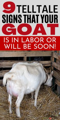 Do you think your goat is close to kidding? Here are 9 signs of goat labor to tell you if your goat will kid in the near future! Knowing the signs of labor will help anyone who raises goats be prepared for kids and kidding! What To Feed Rabbits, Farm Tools And Equipment, Signs Of Labour, Breeding Goats, Alpine Goats, Goat Pen, Nubian Goat, Goat Care, Farm Lifestyle