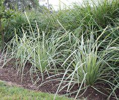 248 best landscape gardening plants images on pinterest native lucky stripe lomandra is a strappy leaf plant with variegated foliage altavistaventures Images