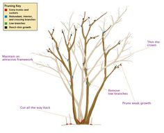 Pruning Crape Myrtles - Correct pruning yields gracefully shaped trees with more blooms that are held upright on strong stems. And flowers arrive earlier than do those on unpruned or mispruned plants.