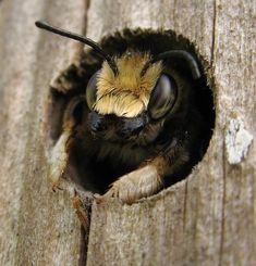 Carpenter Bee…