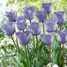 These Triumph Tulip Bulbs 'Magic Lavender' from American Meadows are simply lovely... and on sale!