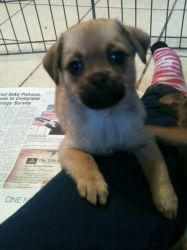 Adopt Pug Mix Puppies On Pug Mix Pugs Puppies