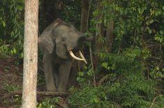 The last Sumatran elephants need your voice!