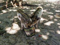 Bootstour von Koh Samui nach Koh Tan & Koh Madsum | Sonnig Unterwegs Reiseblog Lamai Beach, Kangaroo, Animals, Palm Trees Beach, Small Restaurants, Thailand Travel, Small Island, Islands, Animales