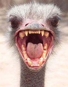 Ostrich   Ostrich