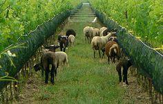 Sheep grazing at Southbrook biodynamic vineyard / winery