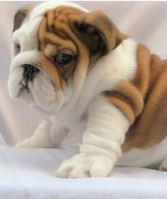 English Bulldog puppy.....I could just completely smother this puppy in kisses, kisses and more kisses.