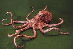 Rare Marine Sea Octopus Cephalopod Exhibit Specimen Weird Faux Taxidermy Oddity #Kuriology