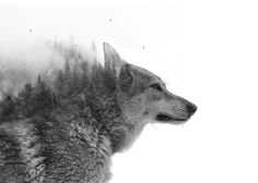 Double exposure with a picture of a thinking wolf and the forest he is watching.