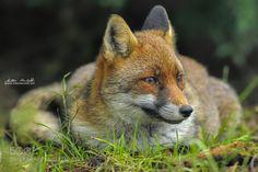 Fox de milkomarchetti