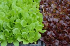 lettuce starts // Wayward Spark