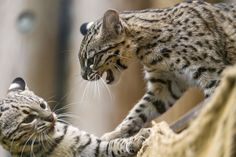 It also happened that the Geoffroys cats were playing, but it wasn't easy to photograph!