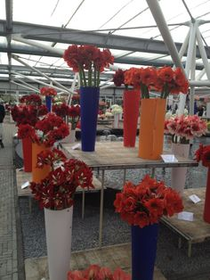 Display of different Hippeastrum cut-flowers.