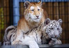 zlatá mramorovaná fotografie Bengálský tygřík: zlatá mourovatá bengálský tygr hrát s bílý tygr goldenandwhitetigers.jpg