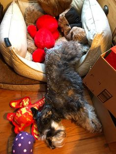 Can this really be comfortable? Only a Schnauzer.