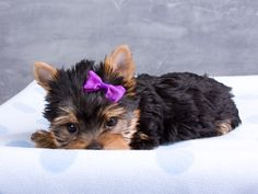yorkie =) so cute