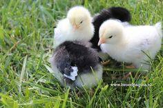 www.broedpagina.nl - Chicks, Kuikens, Breeding, Poultry, Fowl, Pluimvee, Hens, Roosters, Broeden, Broeds, Broedsheid, Eggs, Eieren, Hen, Haan.