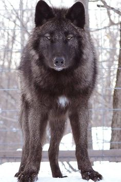 Wolf Images, Wolf Photos, Wolf Pictures, Beautiful Wolves, Animals Beautiful, Cute Animals, Beautiful Dogs, Wild Animals, Baby Animals