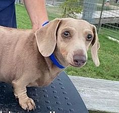 Mary Kate Dachshund For Adoption In Pearland Texas