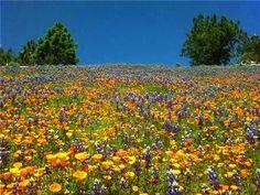 Figueroa Mountain wildflowers