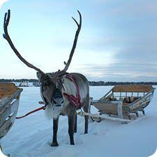 Rendier Lapland diepe winter