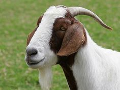 Is satisfied goat because of nice horn.