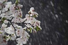 Планета Земля и Человек: Фото дня - в Японии выпал снег во время цветения сакуры