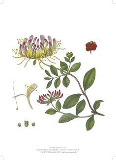 Kunsttryk med Kaprifolium, lonicera perichymenum L.,  i A4 med gammel kobberstik fra værket FLORA DANICA