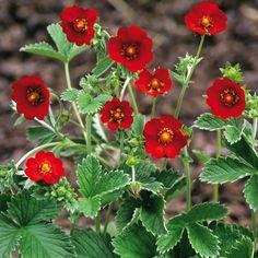 POTENTILLA atrosanguinea - Rød Potentil, farve: rød, lysforhold: sol, højde: 40 cm, blomstring: juli - august, god til bunddække.