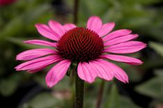 Kaunopunahattu, Echinacea purpurea Lääkekasvinakin tunnettu kaunopunahattu on rotevaversoinen ja suurikukkainen perenna, joka menestyy aurinkoisella tai puolivarjoisalla paikalla. Kaunopunahattu kasvaa 80-100 cm korkeaksi ja kukkii heinäkuun lopulta syyskuuhun asti. Kestävät kukat houkuttelevat perhosia. Talvenkestoltaan kaunopunahattu on kestävä.
