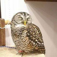 凄く幸せそうな寝顔…(*´ー`*) #ふくろうの里原宿店 #ふくろうの里 #ふくろう #アカアシモリフクロウ #もずく #寝顔 #幸せ #猛禽類 #原宿 #動物 #カフェ #owlvillageharajuku #owlvillage #owl #mozuku #animal #cafe #sleepy #happy #harajuku #tokyo #japan