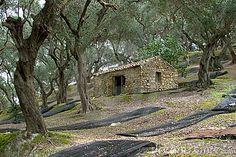 Olive Groves in Arilas, Corfu, Greece
