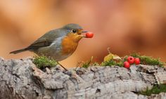 Cute bird with a berry.