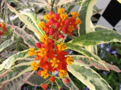 Variegated 'Monarch Promise' tropical milkweed. Image courtesy Hort Couture.