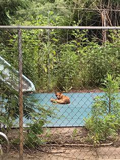 Fox guarding the pool. No henhouse. Outdoor Furniture, Outdoor Decor, Hammock, Aquarium, Fox, Real Estate, Tours, Home Decor, Goldfish Bowl