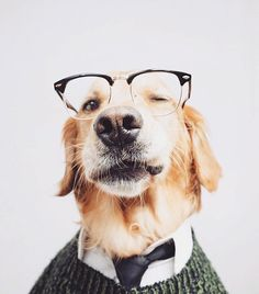 Cute golden retriever puppy dog wearing glasses and a sweater and tie. Animals And Pets, Baby Animals, Funny Animals, Cute Animals, Cute Puppies, Cute Dogs, Dogs And Puppies, Doggies, Mans Best Friend
